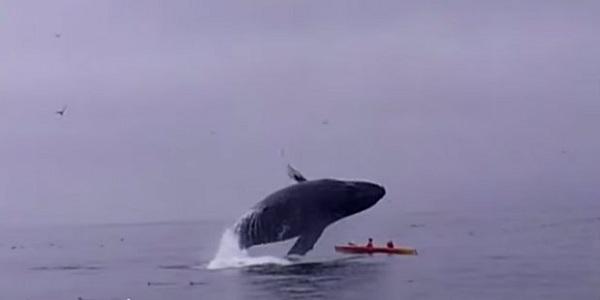 Estados Unidos: pareja casi muere aplastada por una ballena