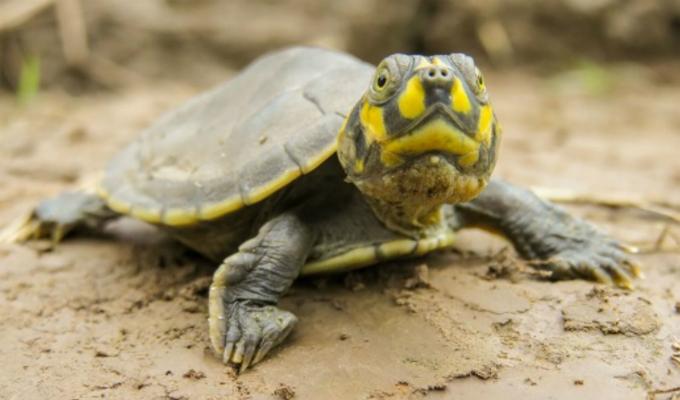 Loreto: más de 500 mil tortugas serán liberadas en la Amazonía