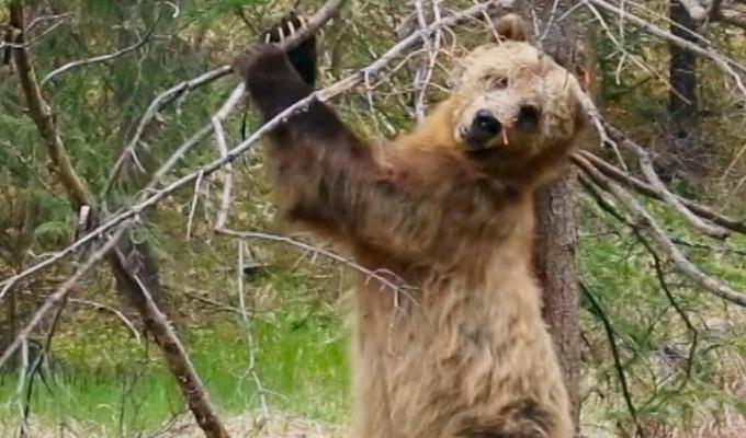 "Osos grizzli practican ""Pole Dance"""