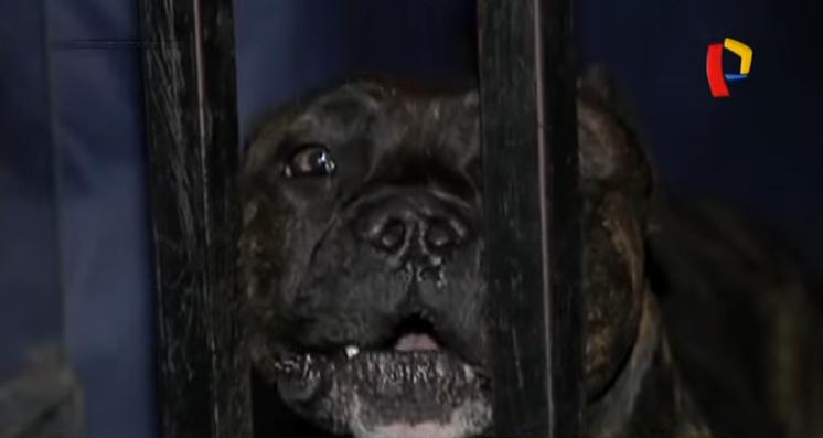 SJL: vecinos preocupados tras ataque de perro pitbull