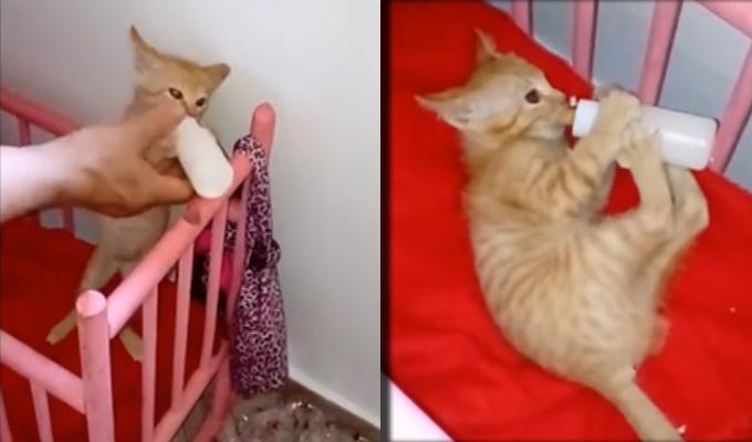 Gatito que pide y toma biberón en su cuna es sensación en redes sociales