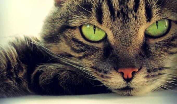 Japón: Autoridades en alerta tras caso mortal de contagio de virus de un gato a ser humano