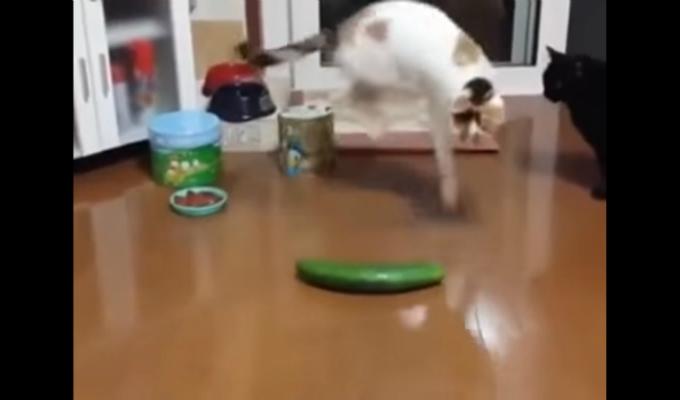 [VIDEO]  Gatos vs pepinos: ¿Por qué estos felinos les temen?