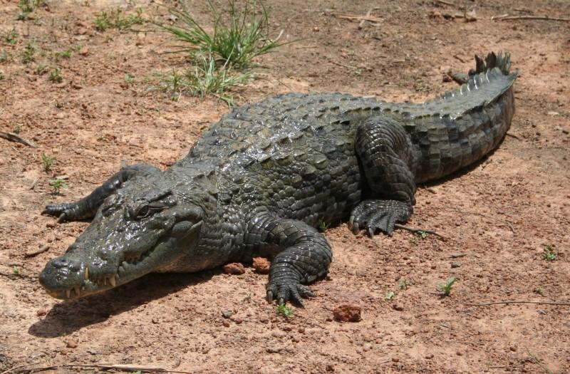Sujetos matan cocodrilo en venganza porque se comió a su amigo