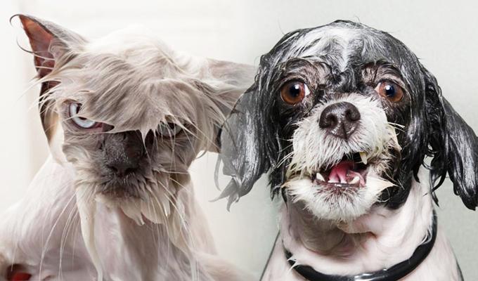 Cuando las mascotas hacen lo imposible por no bañarse