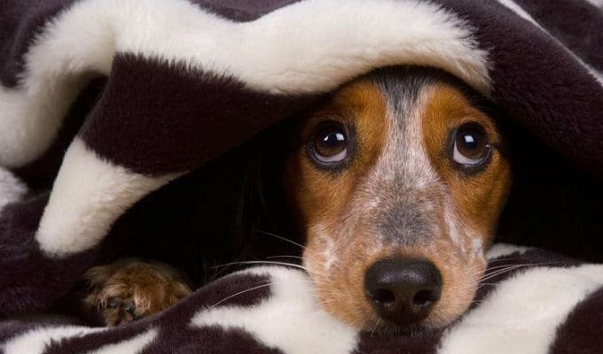Navidad: sepa cómo controlar el miedo de su mascota a los pirotécnicos