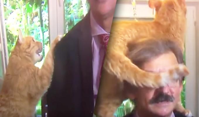 """Holanda: gato """"figureti"""" interrumpe entrevista en vivo de analista político y se viraliza"""
