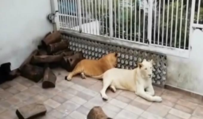 Tres leones y un Rottweiler eran las mascotas de un hombre en México