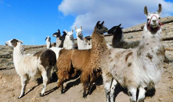 Llamas podrían ser la clave para una vacuna universal contra la gripe