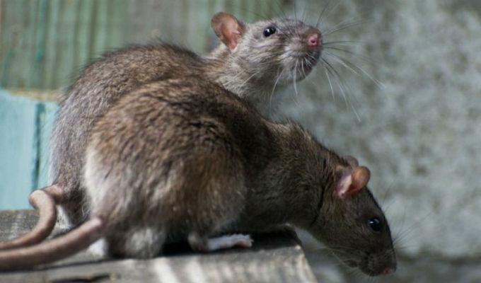 'Explosión' de ratas ocurriría en ciudades por calentamiento global