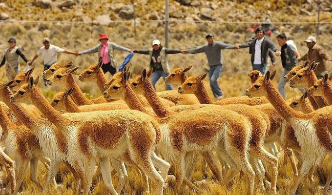 Ayacucho: Población de vicuñas creció en 1000% en Reserva de Pampa Galeras