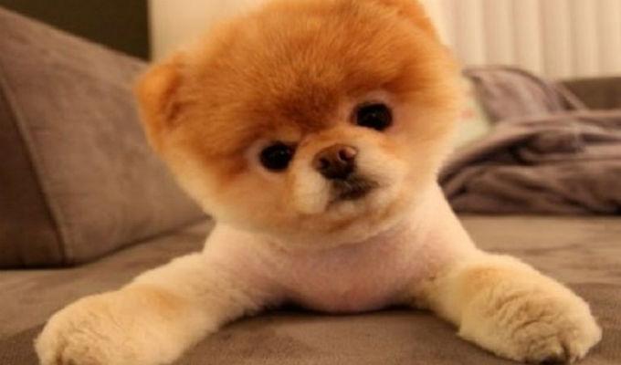Muere 'Boo', el perro más bonito del mundo