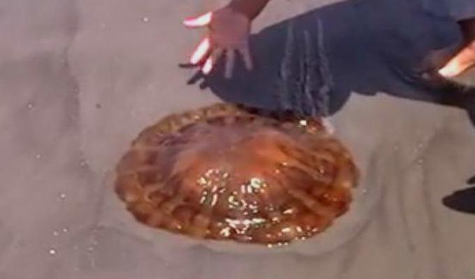 Ancón: aparición de miles de malaguas en el litoral sorprende a veraneantes