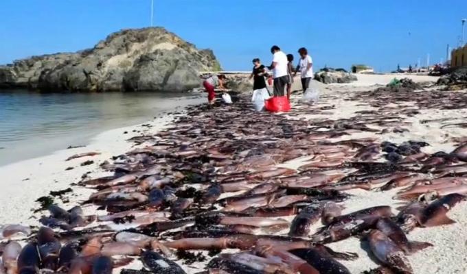 Chile: conmoción por miles de sepias muertas en la costa