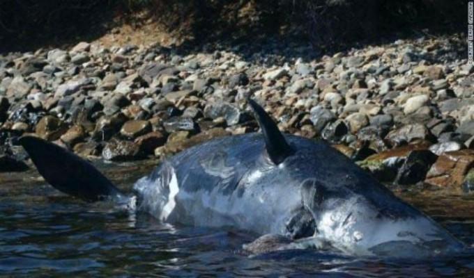 Hallan muerta a ballena embarazada con 22 kilos de plástico en su estómago [FOTOS]