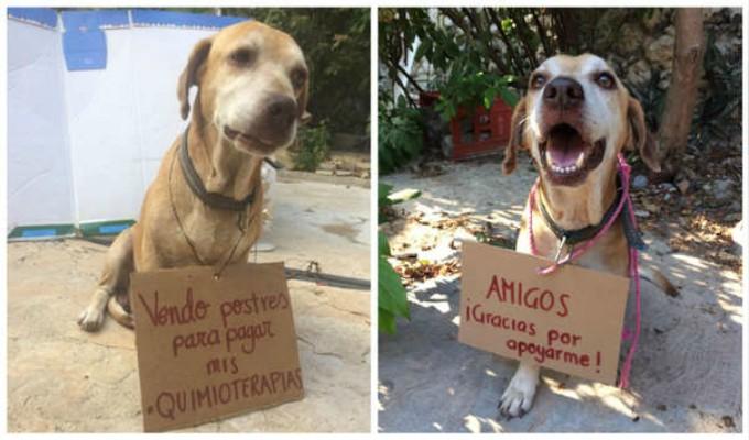 Conoce la historia del perro que vendió postres para pagar su quimioterapia