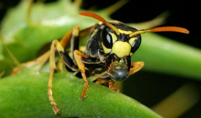 ¿Las avispas son más inteligentes de lo que pensábamos? Esto dice la ciencia