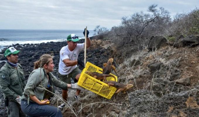 Galápagos: reintroducción de iguanas terrestres se implanta como modelo de conservación