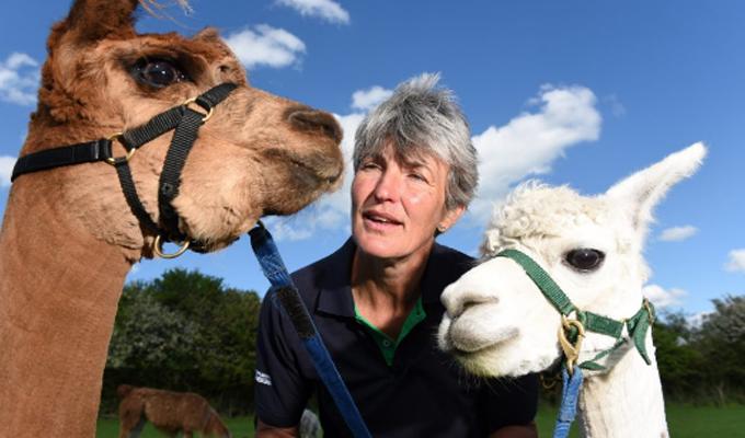 Terapia con alpacas: novedosa técnica promete aliviar definitivamente el estrés