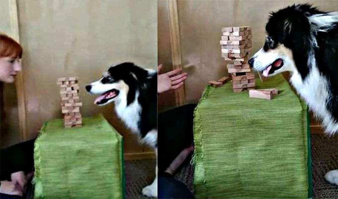 Perro sorprende a internautas por su habilidad jugando jenga