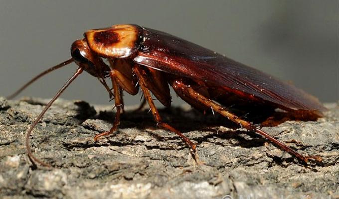 Las cucarachas se están volviendo inmunes a insecticidas