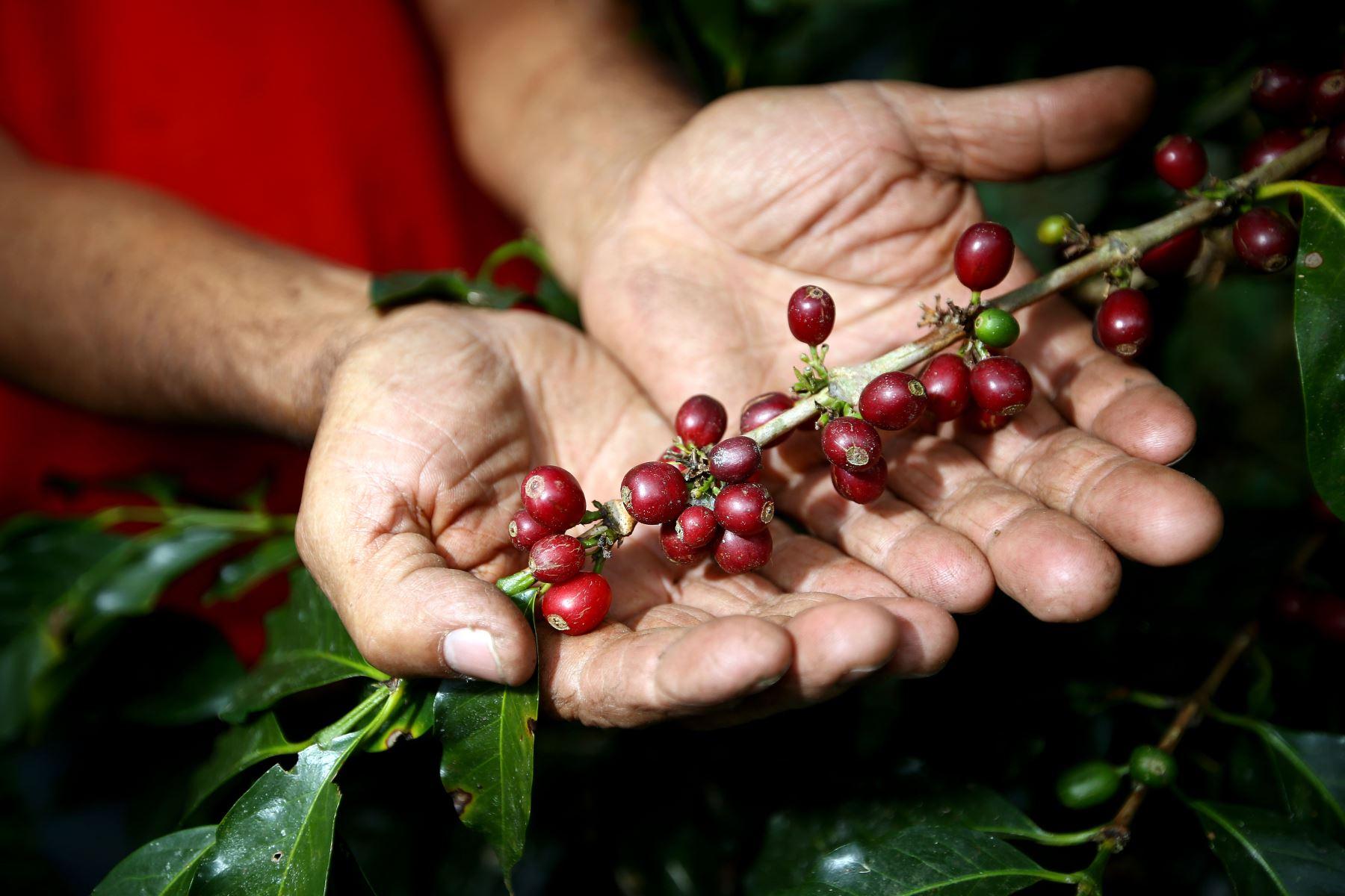 Festival del Café de Villa Rica: disfruta de las variedades de este exquisito grano