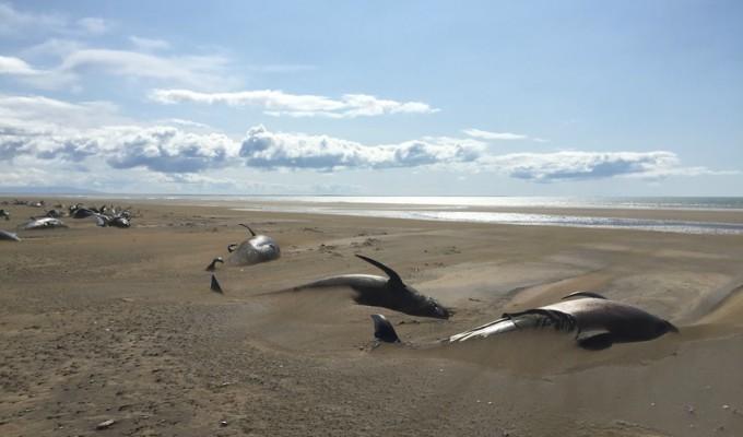 Islandia: hallan 50 ballenas muertas en una playa