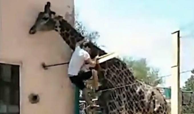 Viral: hombre ebrio se sube al lomo de una jirafa en zoológico