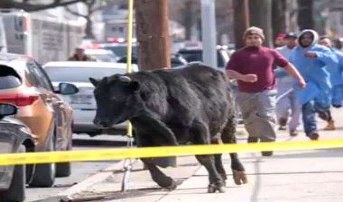 EEUU: toro ingresa a edificio y causa pavor en las calles de Colorado