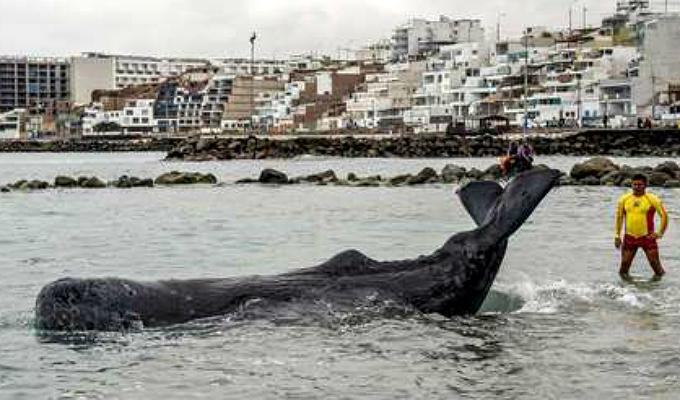 San Bartolo: cachalote muere a pesar de esfuerzos por salvarlo