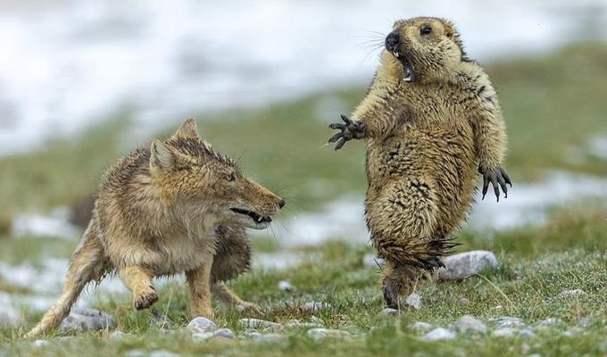 ¡No me toques!: marmota sorprendida por zorro es elegida la mejor foto de fauna salvaje 2019