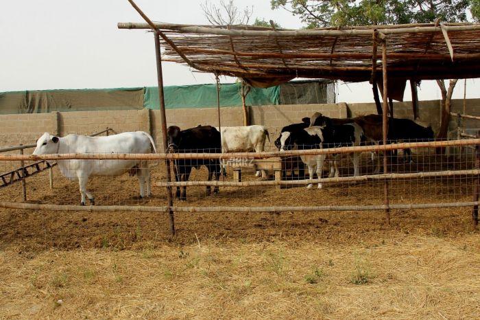 152 Kanal Catel Form for Sale in Moka Bodle Senate Multan
