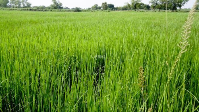 864 Kanal Agricultural Land for Sale in Thatta Deewan Sugar Mills (budhu Talpur)