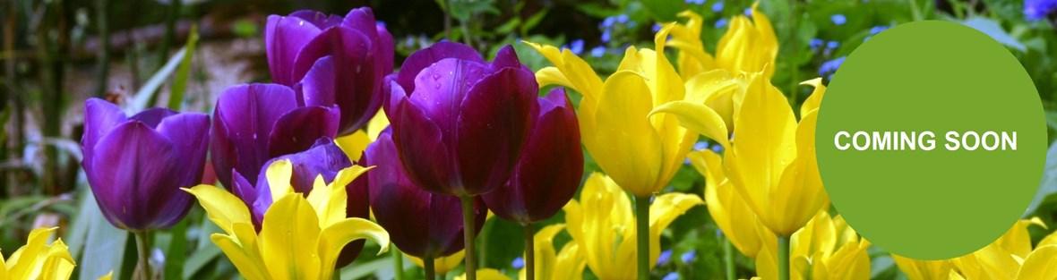 tulipa west point  img_1850 (97).jpg