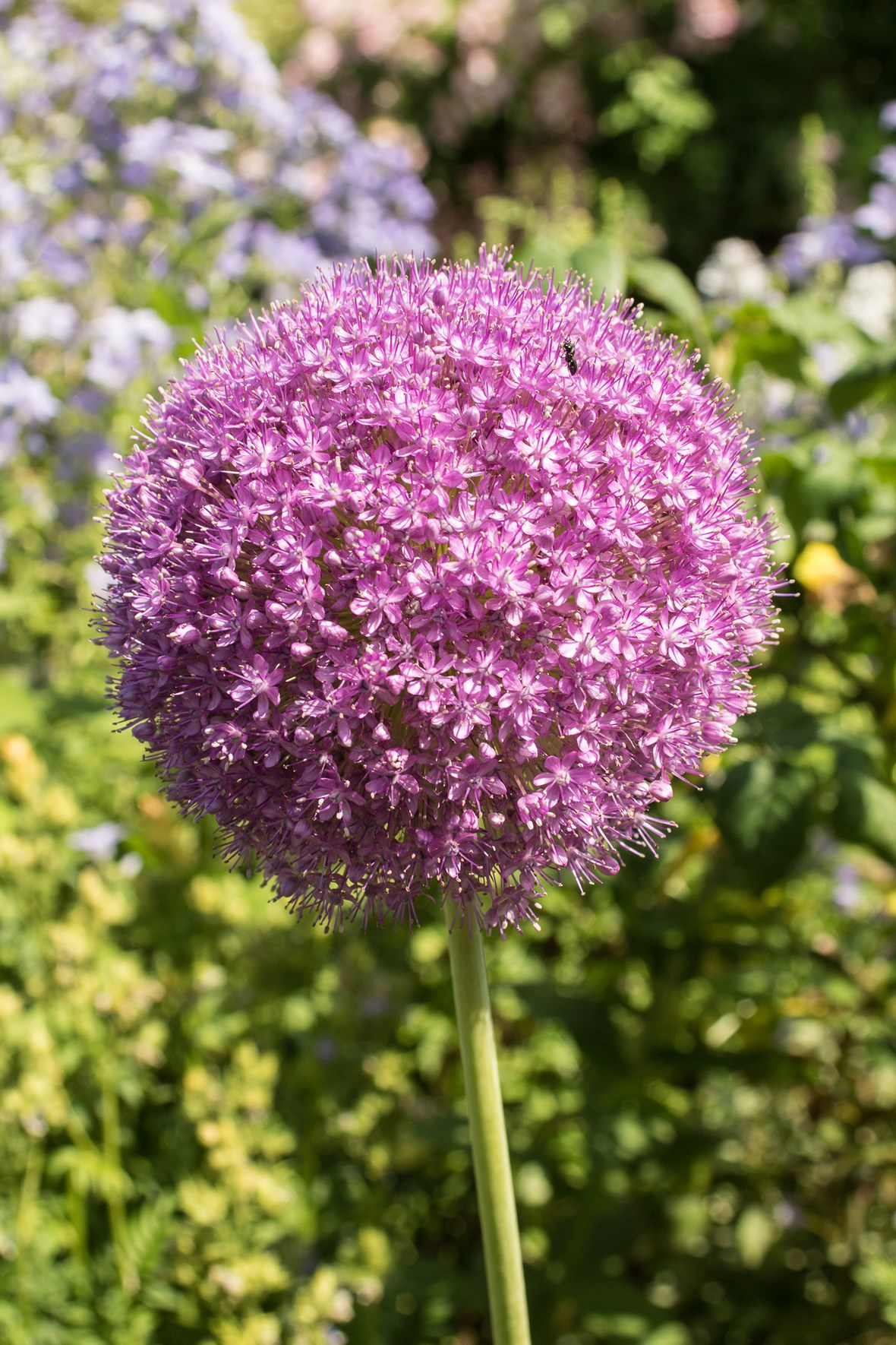 allium giganteum avon bulbs. Black Bedroom Furniture Sets. Home Design Ideas