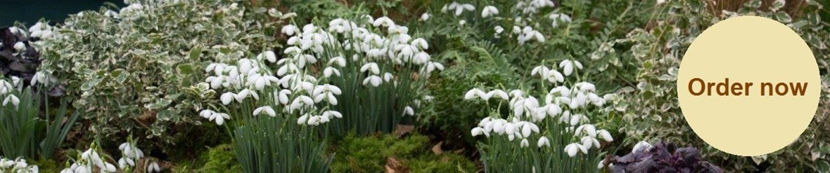 snowdrops img_1494 order now yellow.jpg