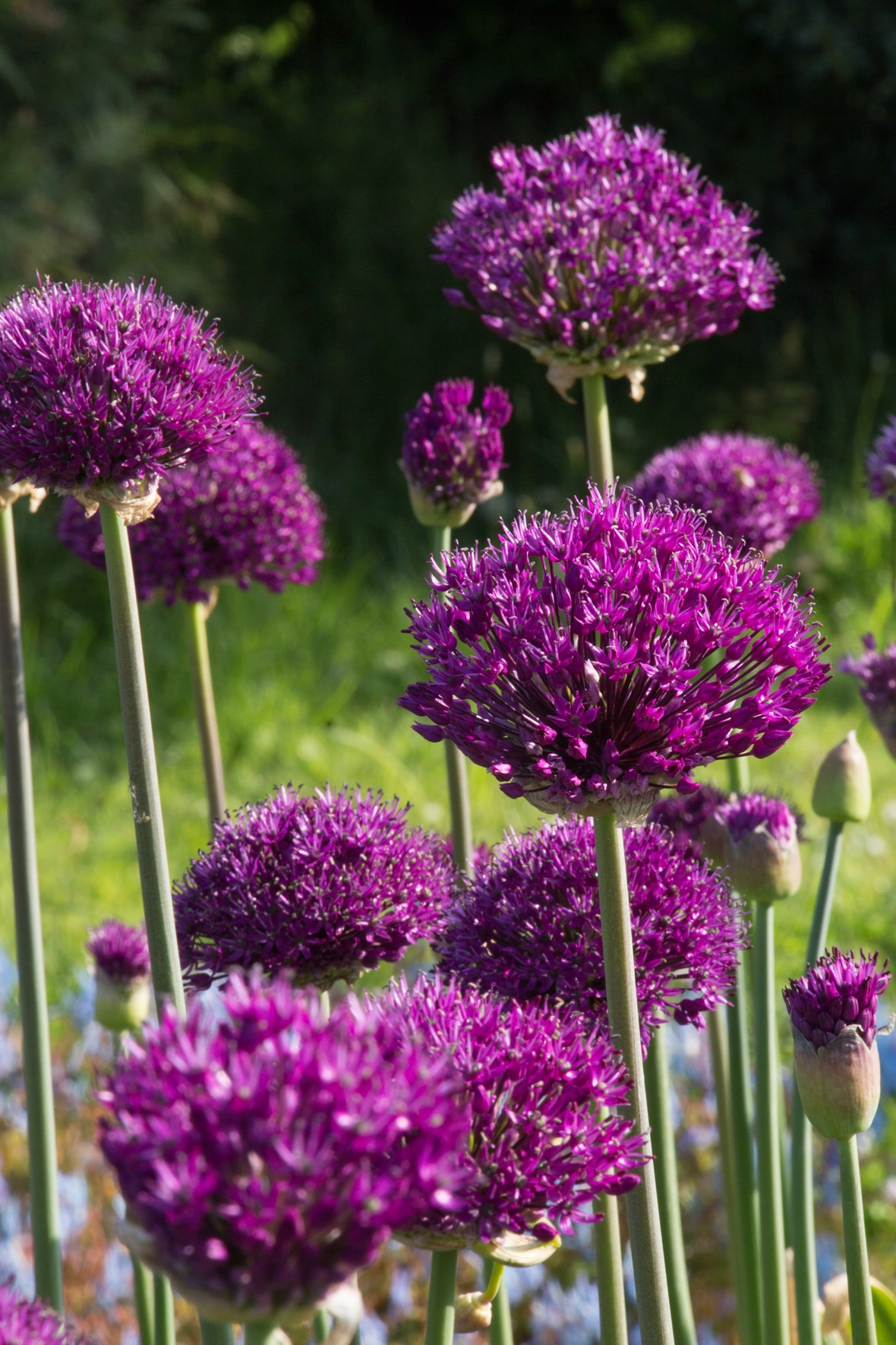 allium hollandicum purple sensation avon bulbs. Black Bedroom Furniture Sets. Home Design Ideas