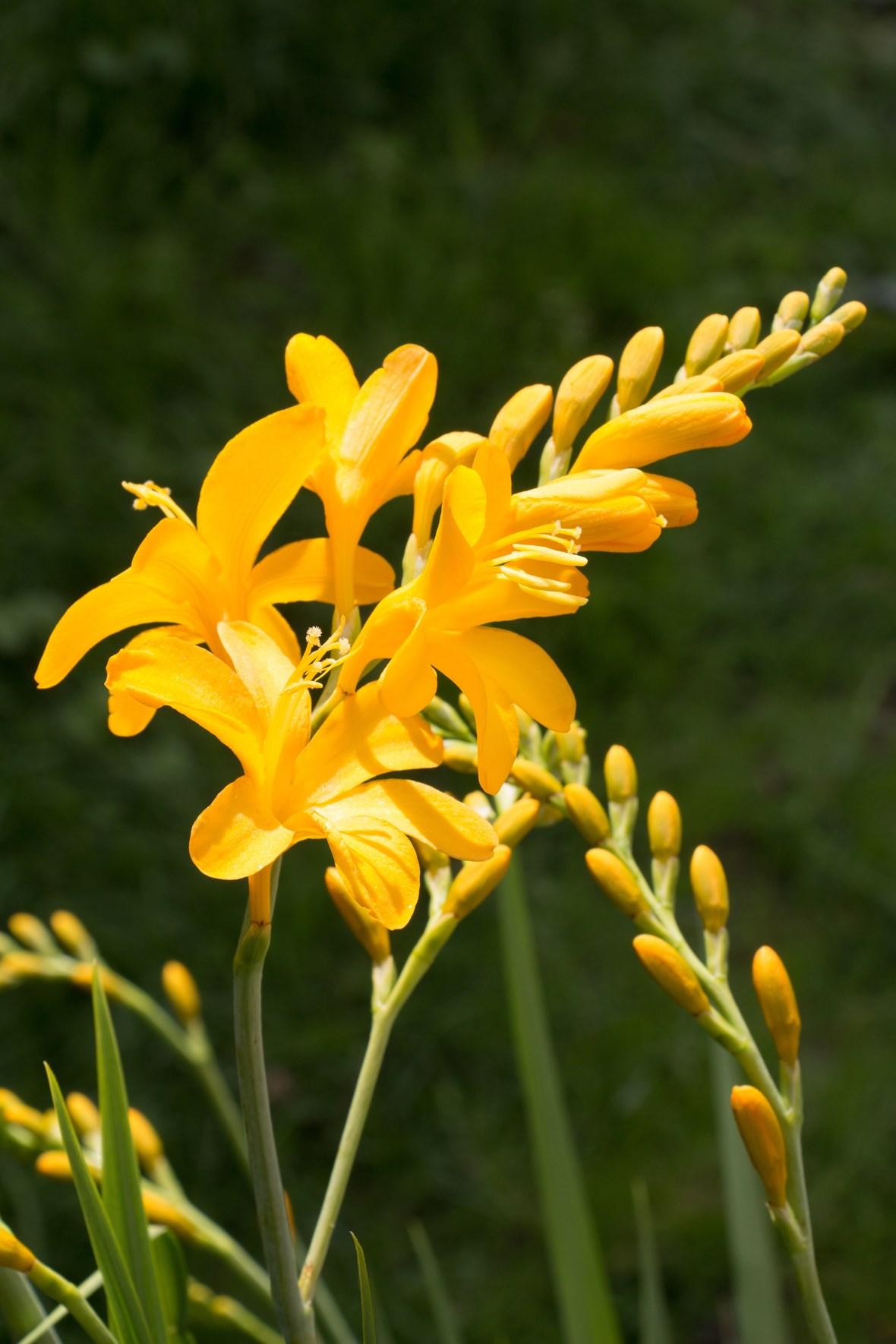 Crocosmia Pauls Best Yellow Avon Bulbs
