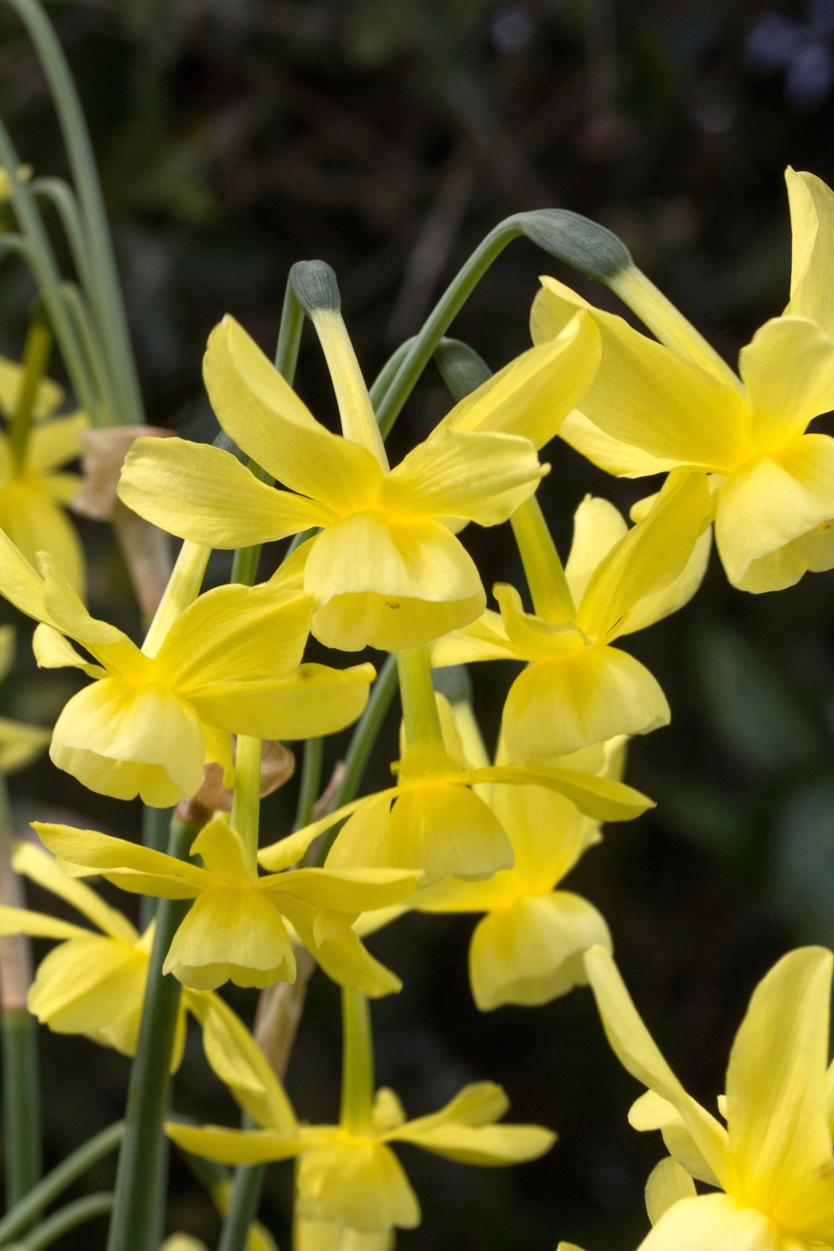 More Interesting Than Food Narcissus >> Narcissus Hawera Avon Bulbs