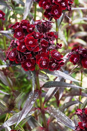"Dianthus barbatus nigrescens ""Sooty"" (Seeds)"