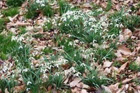 Galanthus melvillei (of hort)
