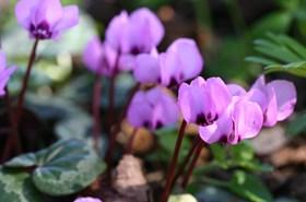 Cyclamen coum roseum