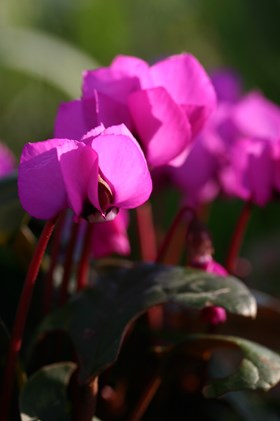 Cyclamen coum Dark Pink