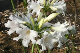 Amaryllis x amarygia parkeri alba