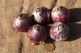 Hyacinthus Pink Pearl (Prepared)