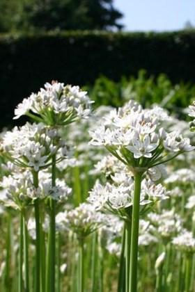 Allium tuberosum