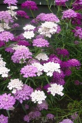 Iberis umbellata - Candytuft (Seeds)