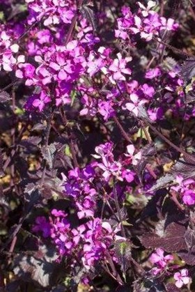 Lunaria annua Chedglow (Seeds)