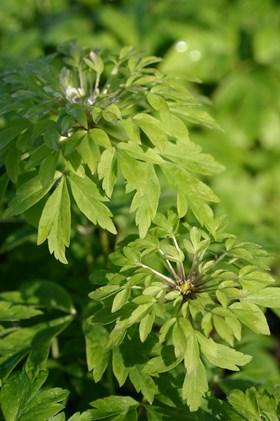 Anemone nemorosa Virescens