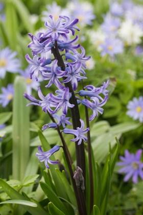Hyacinthus multiflora Anastasia